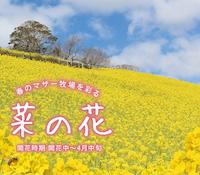 マザー牧場_菜の花